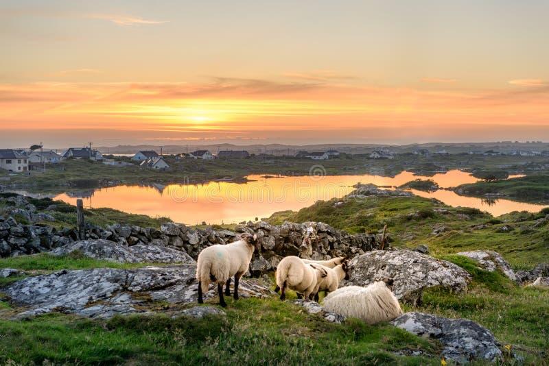 Por do sol da Irlanda com carneiros fotografia de stock