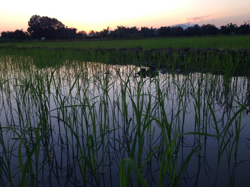 Por do sol da noite no campo de almofada em dezembro Tailândia do campo de milho #028 imagem de stock royalty free