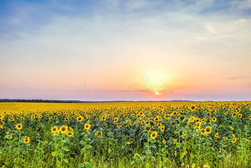 Por do sol da noite sobre um campo de girassóis de florescência fotos de stock royalty free