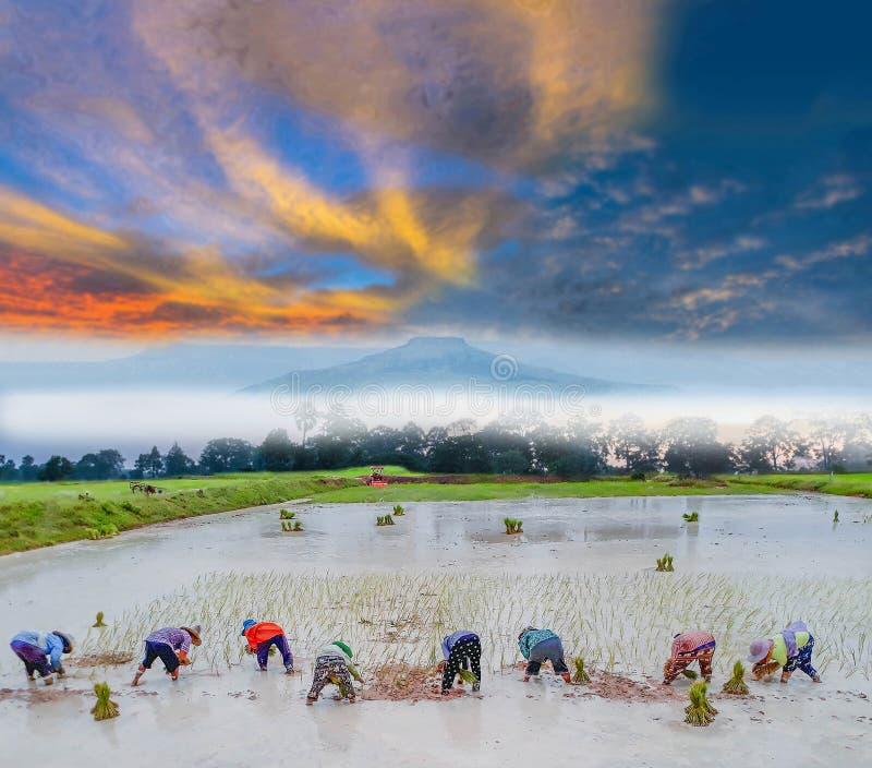 por do sol da silhueta com prática antiga à plantação, campo verde do fazendeiro do método do arroz 'paddy' com a nuvem bonita do imagem de stock