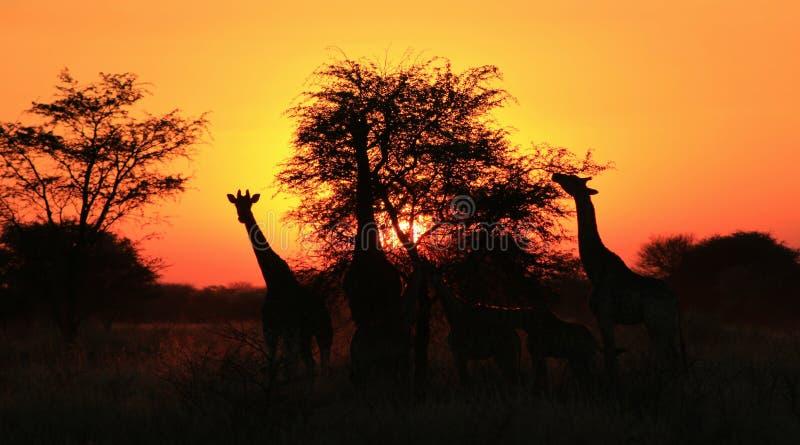 Download Por Do Sol Da Silhueta Do Giraffe - África!!! Imagem de Stock - Imagem de cores, espantar: 26517263