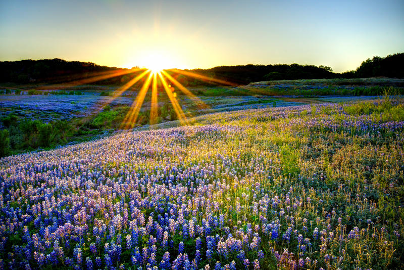 Por do sol do Bluebonnet foto de stock royalty free