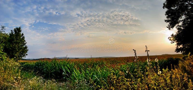 Por do sol do campo de milho a tempo imagens de stock