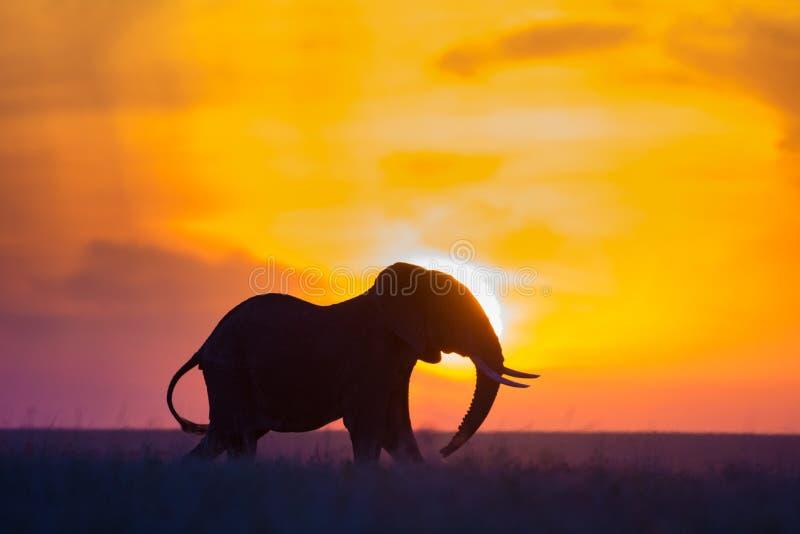 Por do sol do elefante foto de stock