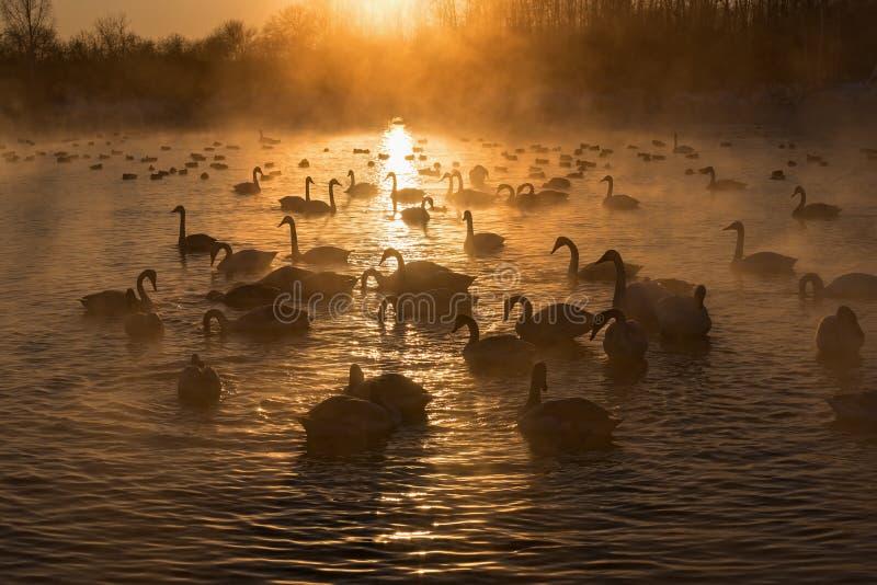 Por do sol do inverno da névoa do lago swans imagem de stock