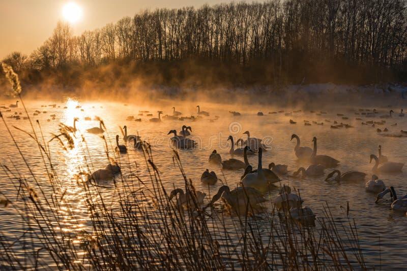 Por do sol do inverno da névoa do lago swans foto de stock royalty free