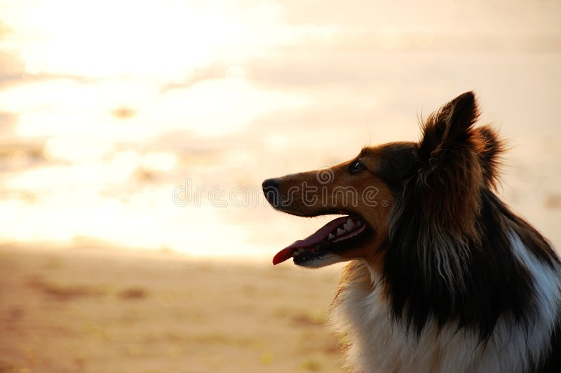 Por do sol do Sheepdog de Shetland foto de stock royalty free
