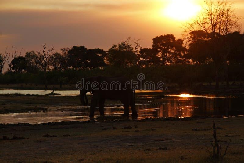 Por do sol dos elefantes africanos no canal de Savuti fotos de stock royalty free