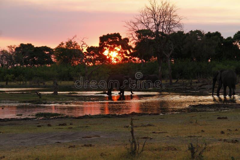 Por do sol dos elefantes africanos no canal de Savuti fotos de stock