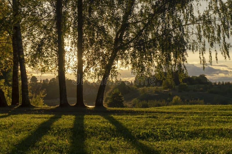 Por do sol dourado e nuvens através das árvores de vidoeiro fotos de stock