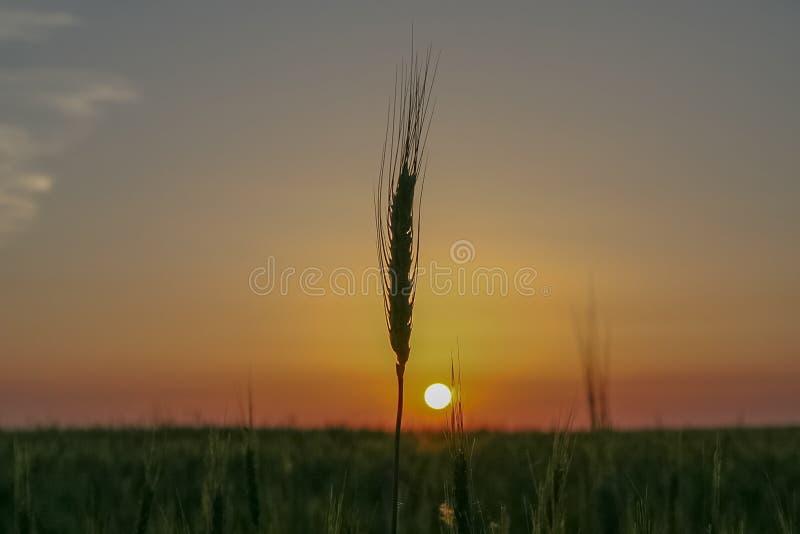 Por do sol em um campo de trigo imagens de stock royalty free