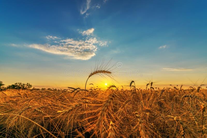 Por do sol escuro sobre o campo da agricultura com colheita imagem de stock royalty free
