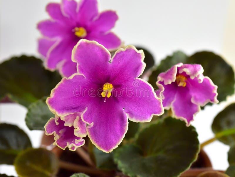 Por do sol gelado da variedade de planta da violeta africana fotografia de stock