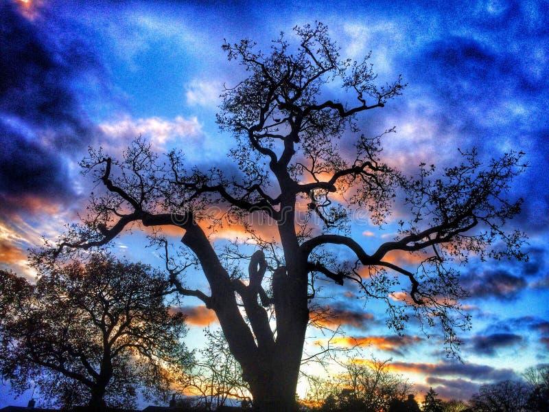 Por do sol Gnarly da árvore imagem de stock
