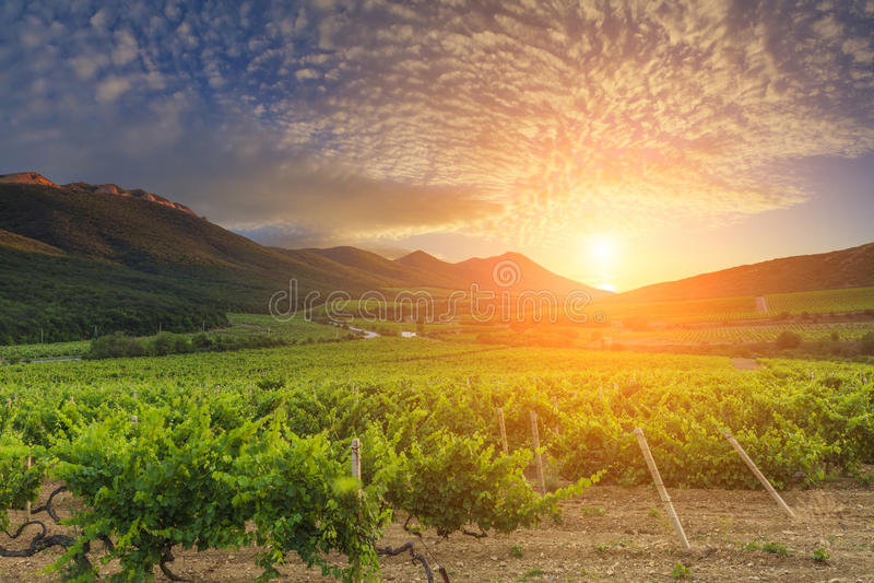 Por do sol lindo sobre videiras verdes bonitas imagens de stock royalty free