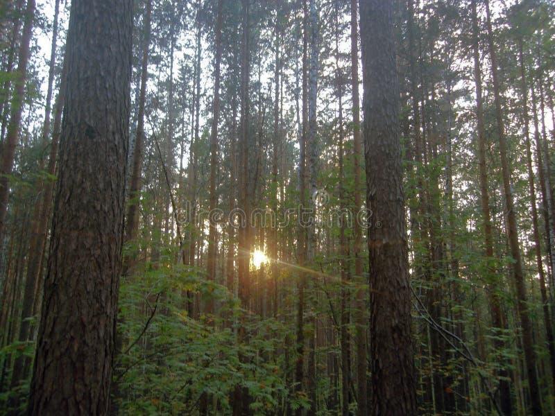 Por do sol na floresta foto de stock royalty free