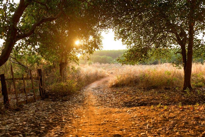 Por do sol na floresta da árvore de porca do caju, imagem de stock
