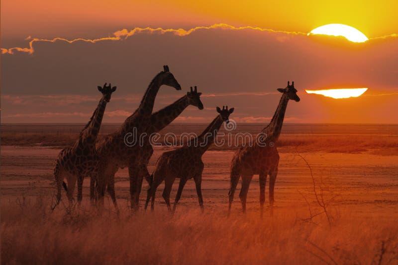 Por do sol no savana africano com um rebanho do girafa fotografia de stock