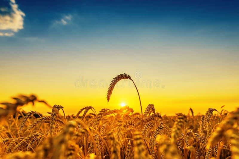 Por do sol sobre o campo da agricultura com colheita fotografia de stock royalty free
