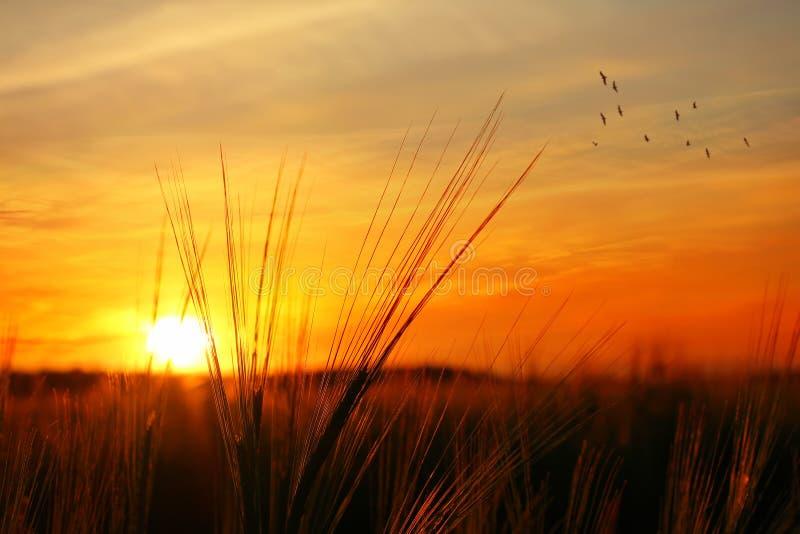 Por do sol sobre o campo da aveia fotografia de stock royalty free