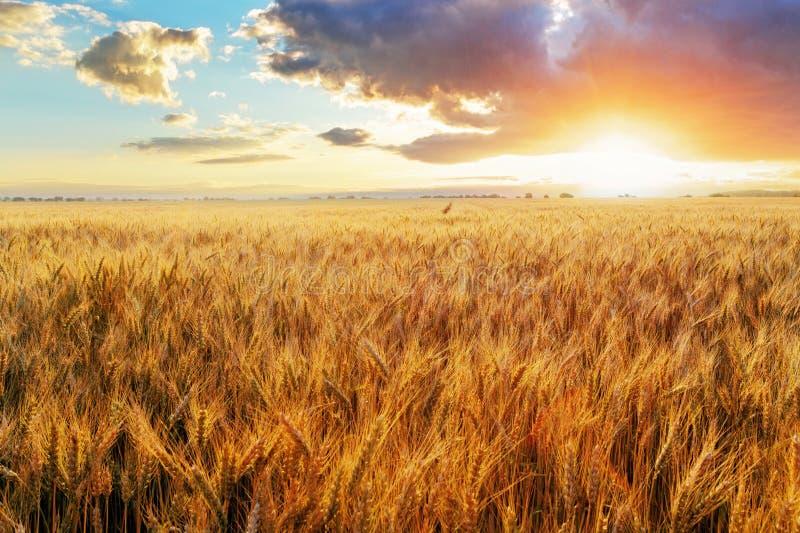 Por do sol sobre o campo de trigo fotografia de stock