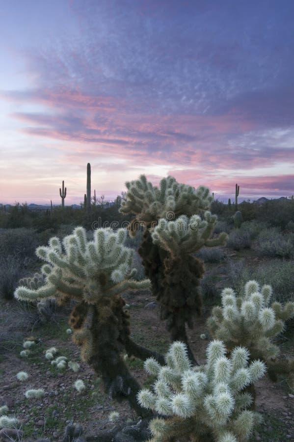 Por do sol sobre o deserto de Sonoran e o cacto de Cholla imagem de stock