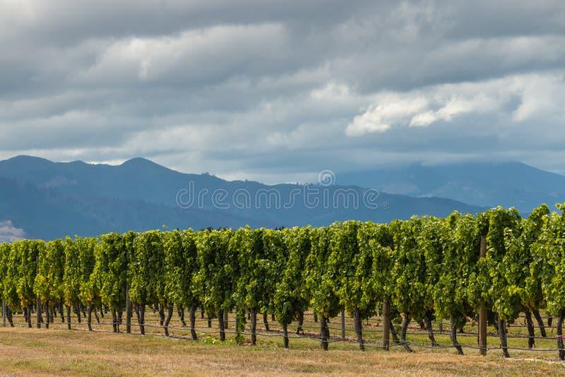Por do sol sobre o vinhedo em Nova Zelândia fotos de stock