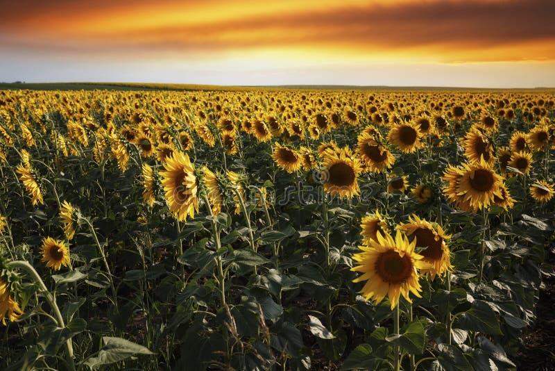 Por do sol sobre um campo do girassol com céu dramático fotografia de stock