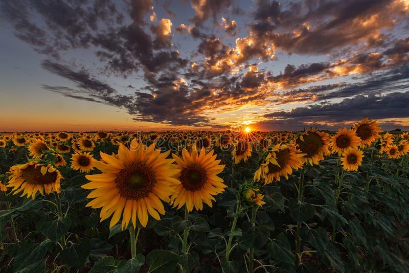 Por do sol sobre um campo do girassol fotografia de stock