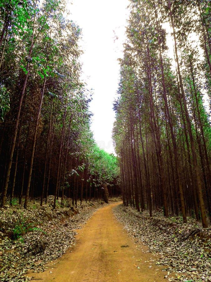 Por Por estrada de терра cortada Floresta de eucalipto стоковые изображения