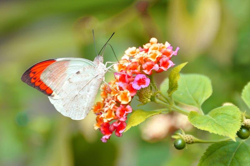 Porada wielki Pomarańczowy Motyl zdjęcia royalty free