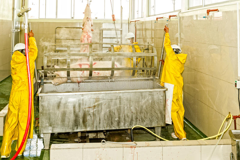 Porc échaudant le processus dans l'abattoir image libre de droits