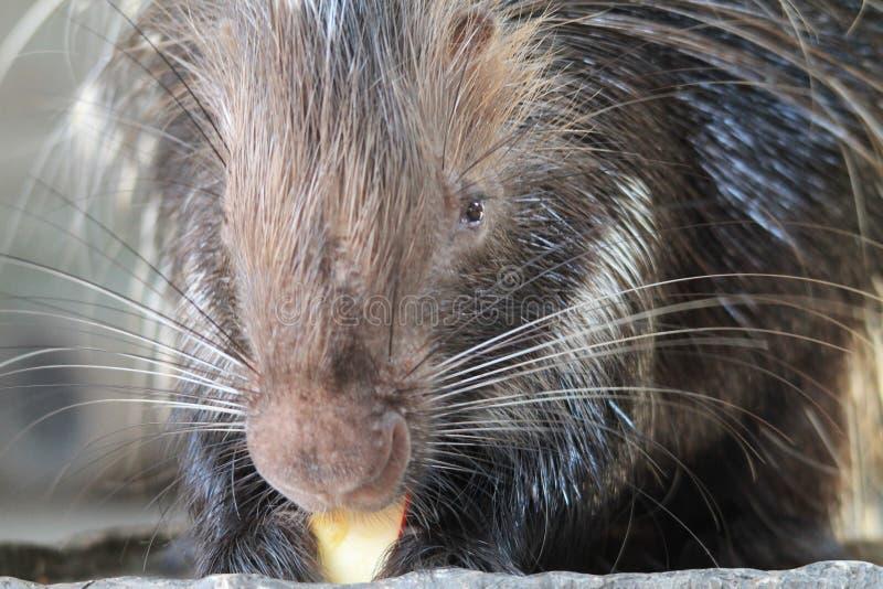 Porc-épic mangeant du fruit au règne animal images stock