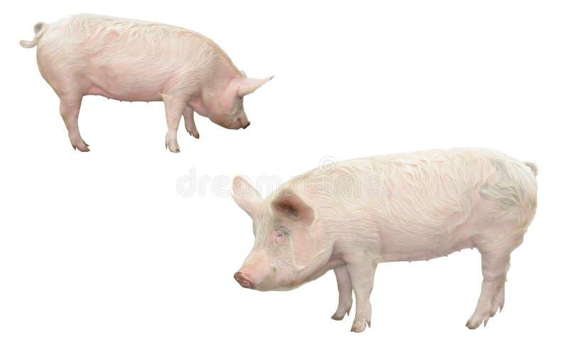 Porc image stock