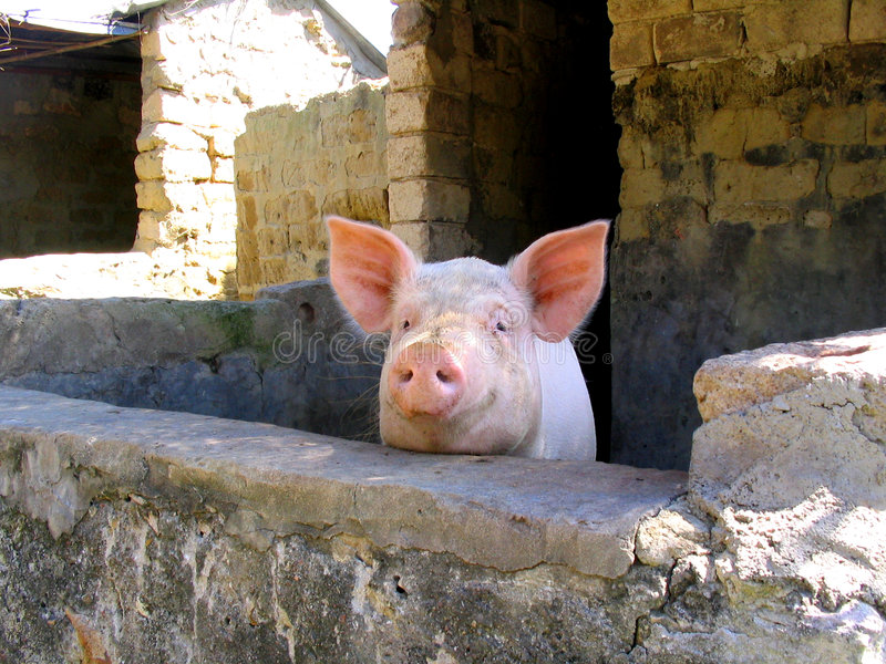 Download Porc image stock. Image du verticale, santé, côté, pays - 82605