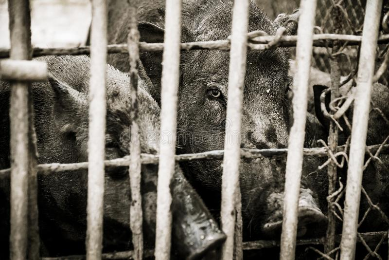 Porc avec le ton dramatique photographie stock libre de droits
