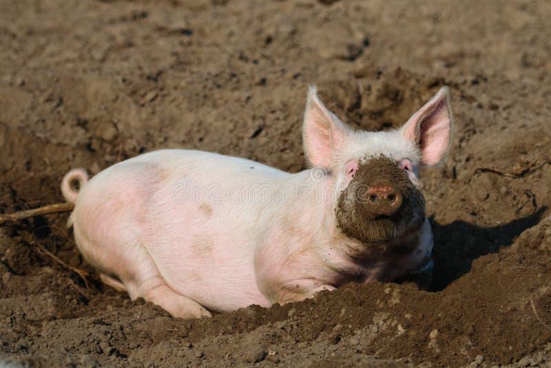 Porc biologique heureux photographie stock
