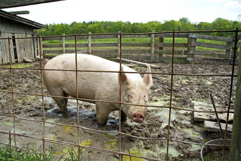 Porc dans l'étable photographie stock
