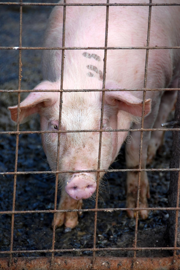 Porc dans l'étable de porc images stock