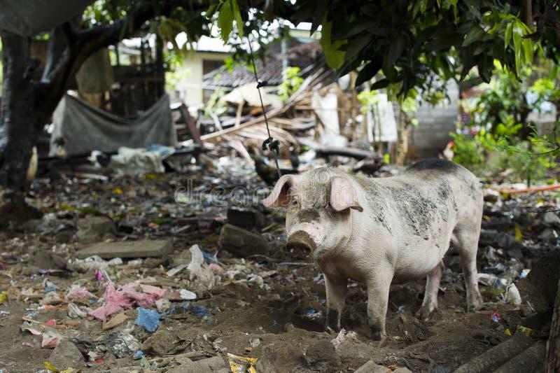 Porc dans l'arrière-cour sale photos stock