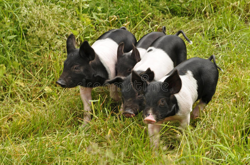 Porc dans l'herbe verte photos stock
