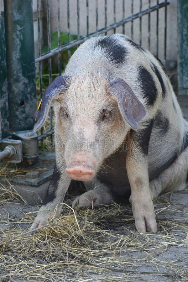 Porc dans la contemplation images stock