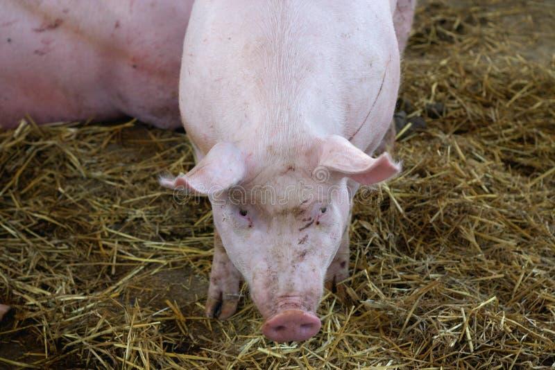 Porc dans la ferme image stock