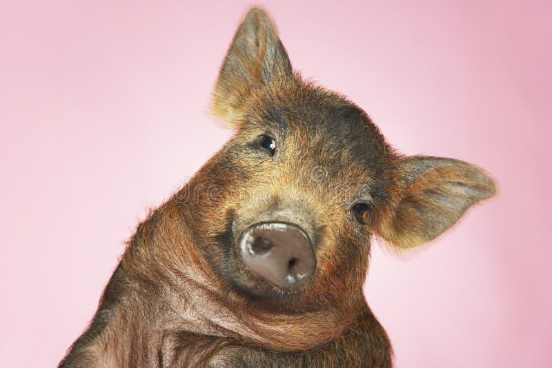 Porc de Brown sur le fond rose image stock