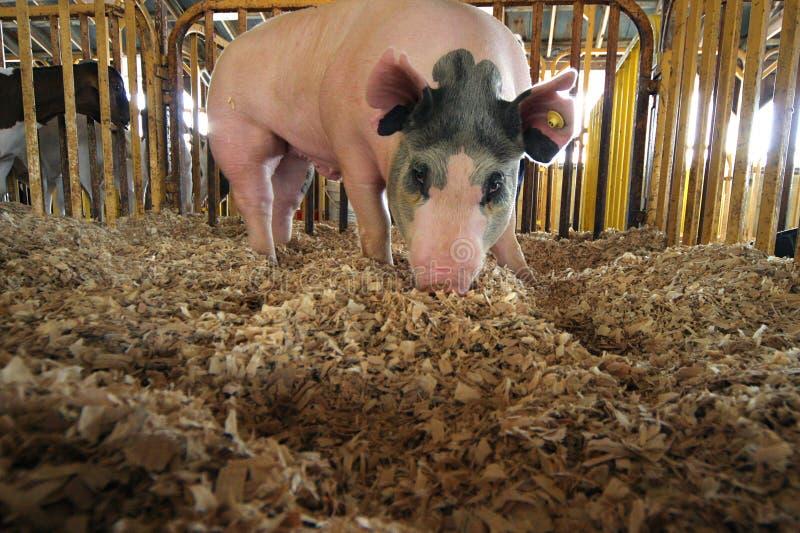 Porc de enracinement photographie stock
