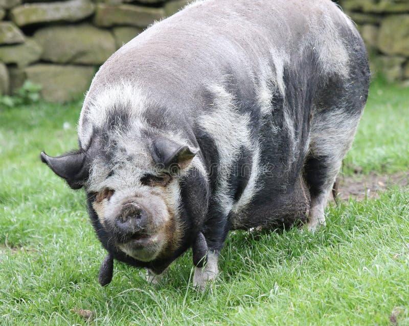 Porc de kune de Kune photographie stock libre de droits