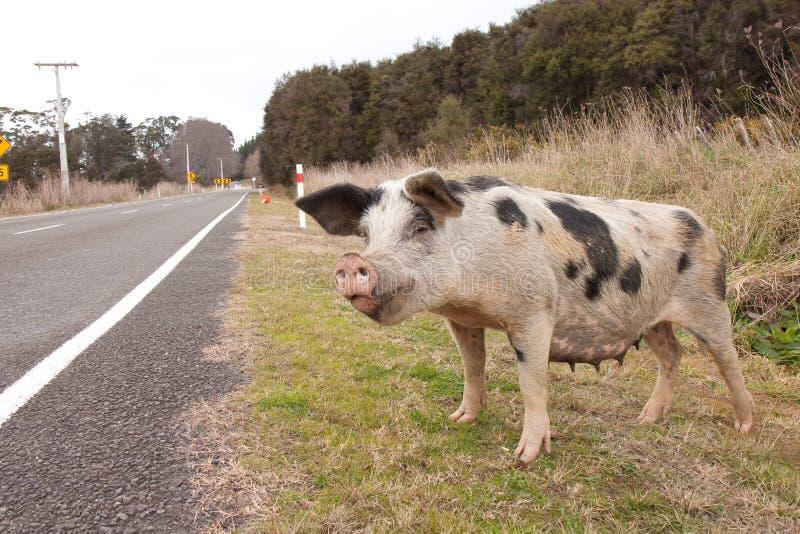 Porc de route photo libre de droits