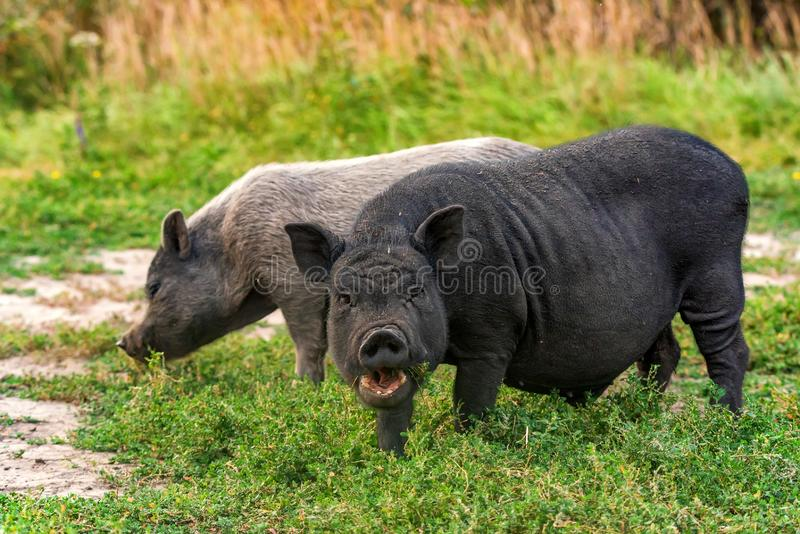 Porc deux vietnamien actif drôle noir mignon extérieur photos libres de droits