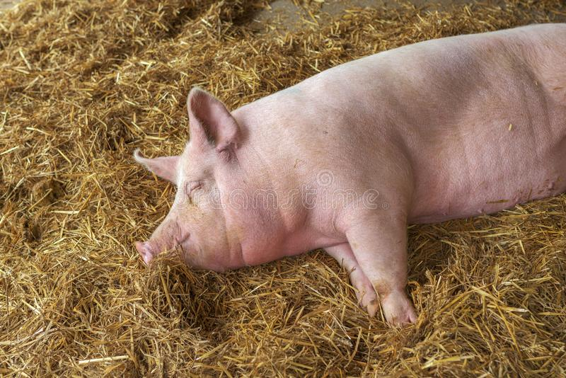 Porc dormant dans la porcherie photo stock