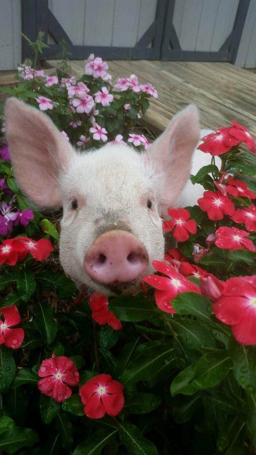 Porc en fleurs photographie stock